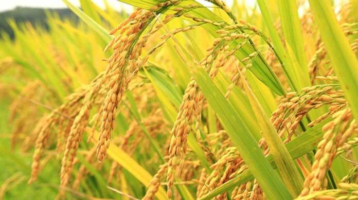 مراحل تولید برنج ارگانیک