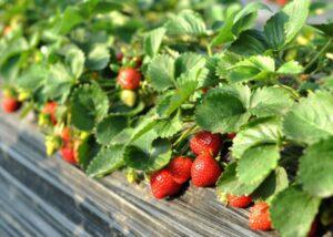 پیش رس کردن تونل ها برای کشت گیاه توت فرنگی