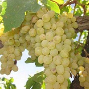 تولید انگور ارگانیک در شرایط دیم