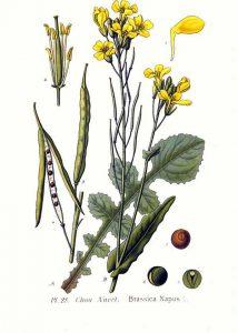 مراحل رشد و نمو گیاه کلزا