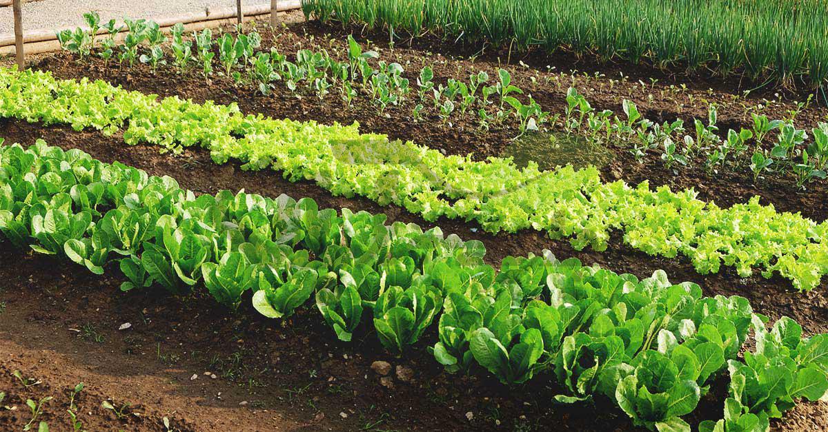کشت ترکیبی گیاهان، گیاهان سازگار و ناسازگار در کاشت ترکیبی